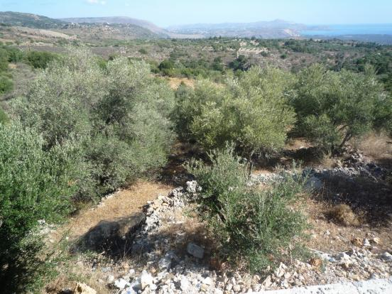 Over olive grove