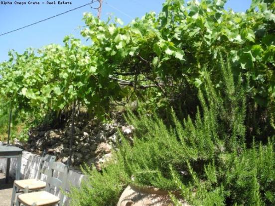 The mature grapevine