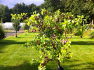 One of 30+ fruit trees which surround the house. 3