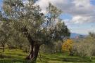 Lush olive groves