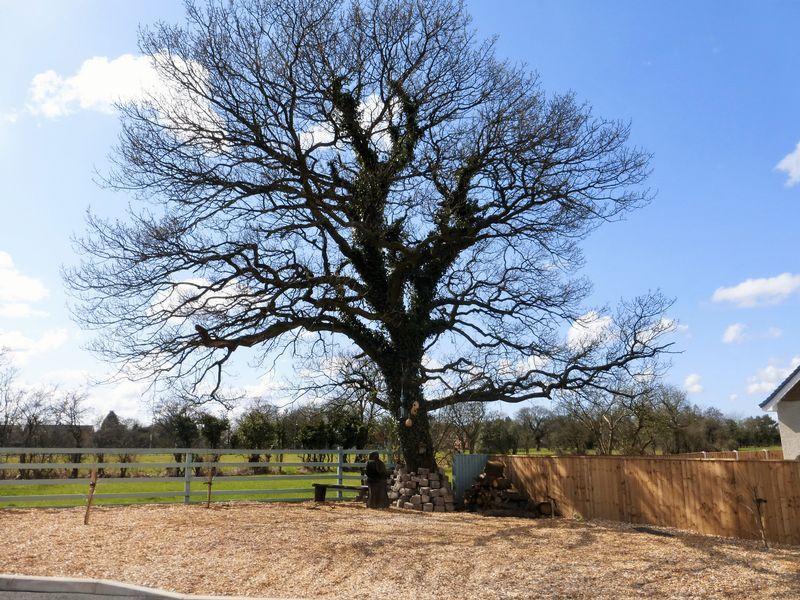 Feature Oak Tree