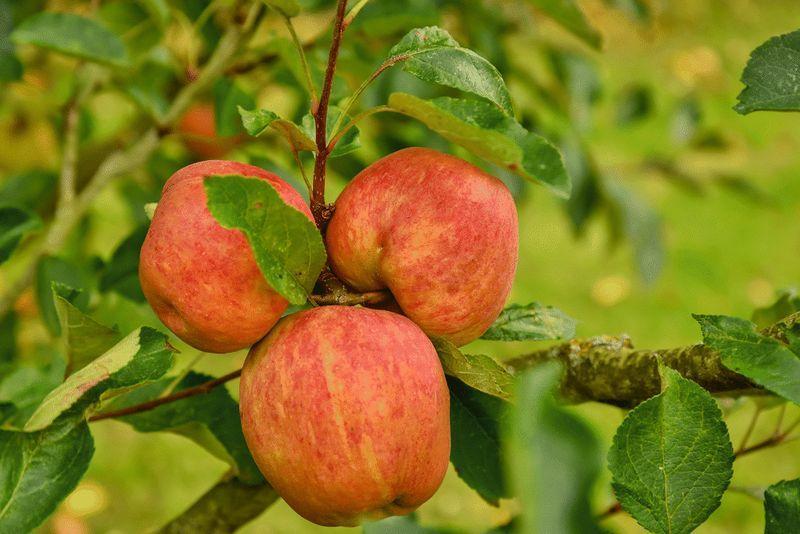 Fruitful Orchard