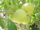On the lemon tree