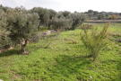 mnay olive trees