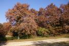 Many oak trees