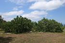 Big fig trees