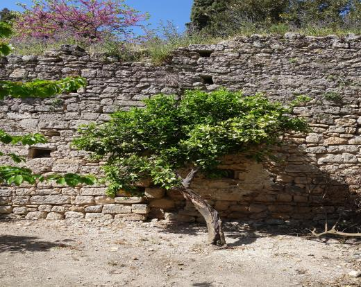 Fruit tree &old wall