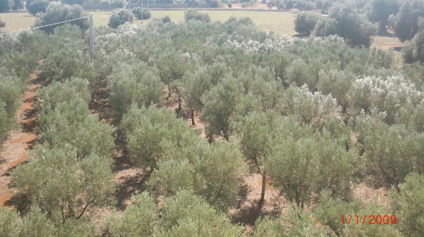 Own olive tree grove