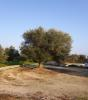 Welcoming olive tree