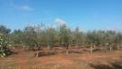 View of olive grove