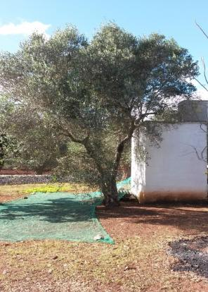 olive tree outbuildi