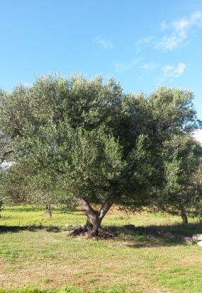 Beautiful olive tree