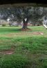 Mature olive tree