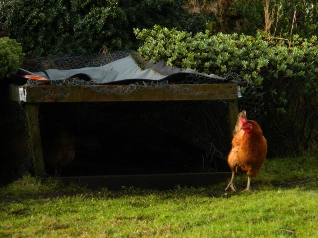 Chickens in the g...