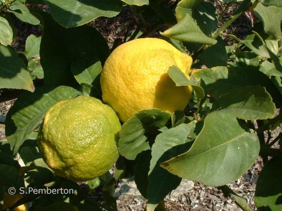 Our lemons