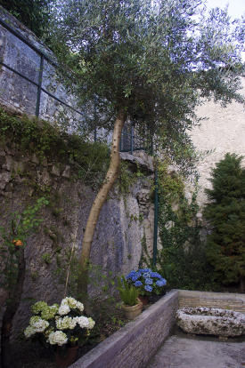 Olive in courtyard