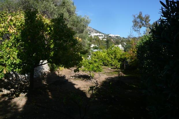olive tree garden