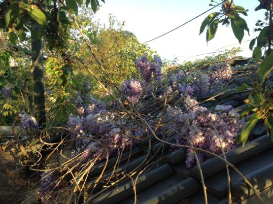 annex wisteria