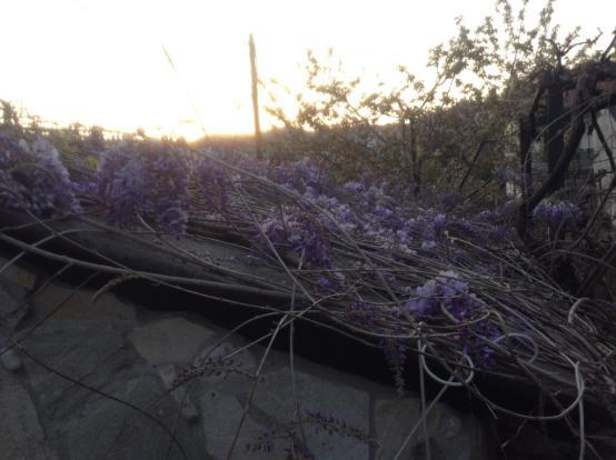 wisteria on annex