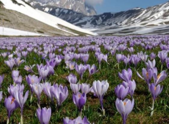 Saffron's field