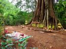 Mighty banyan tree