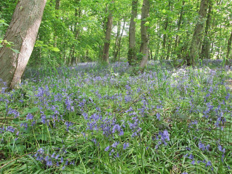 Bluebells At B...