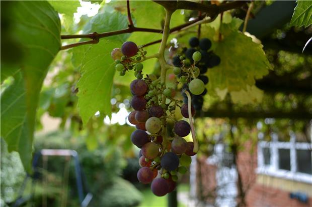 The Grape Vine