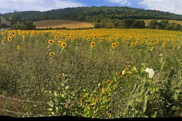 Surrounding Area Sunflowers