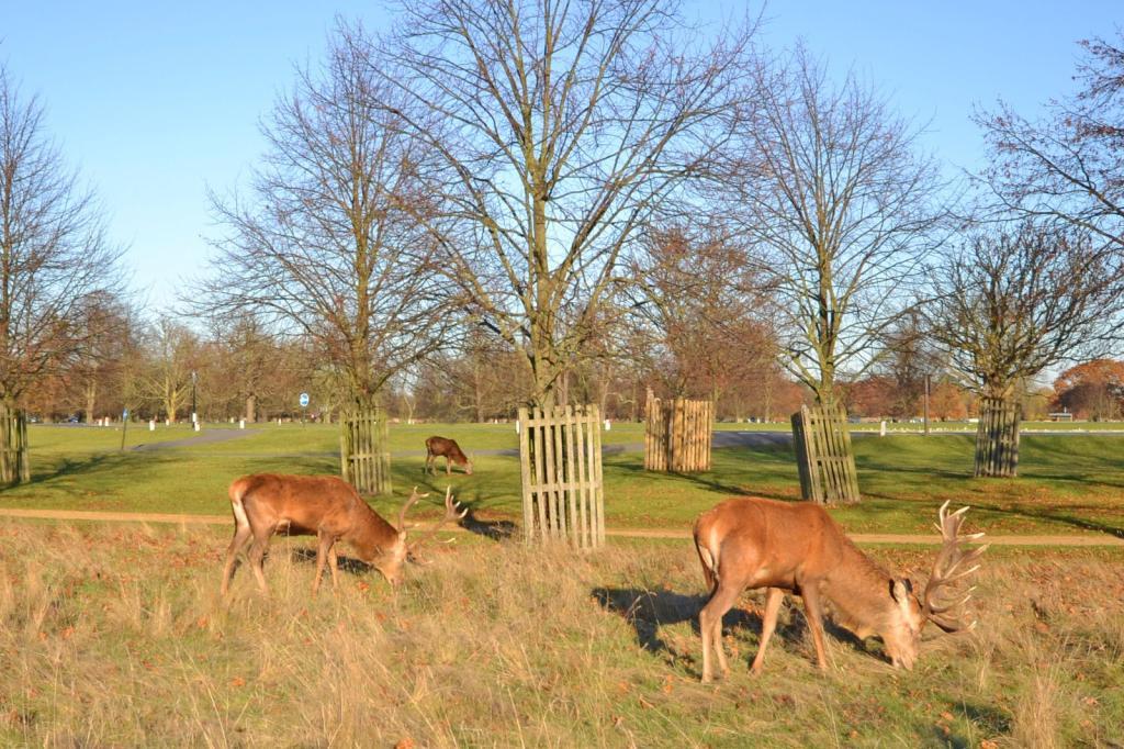 Deer in Bushy Park