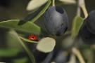 Ladybug and olive