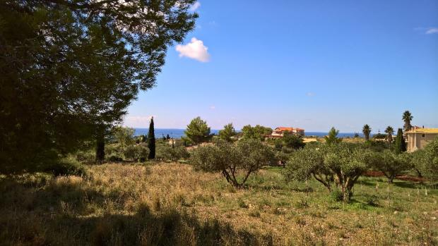 The olives trees
