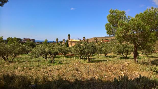 More olive trees