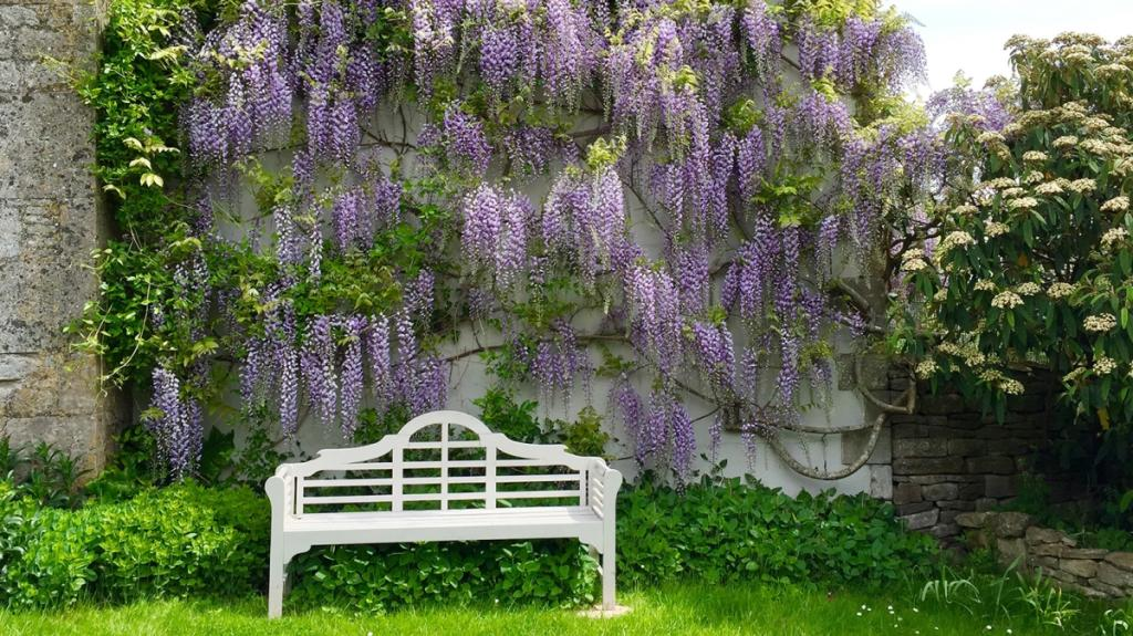 CC Purple Wisteri...