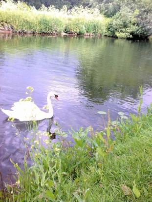 Avon Swan