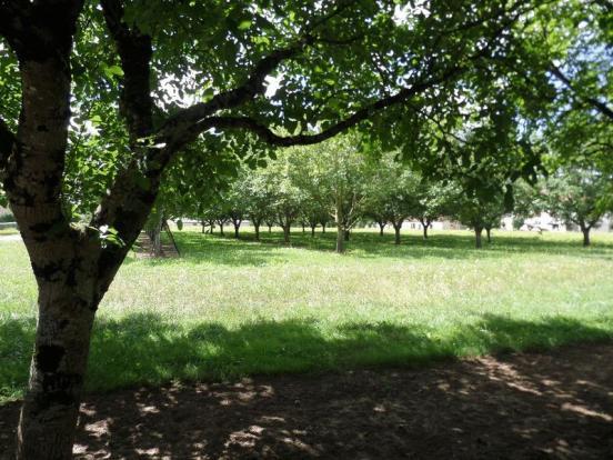 Walnut tree's