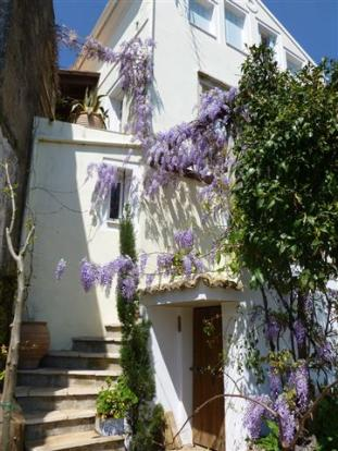 wisteria in bloom