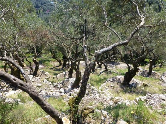olive trees on the land