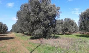 The olive tree grove