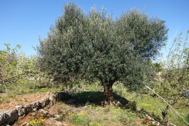 Many olive trees
