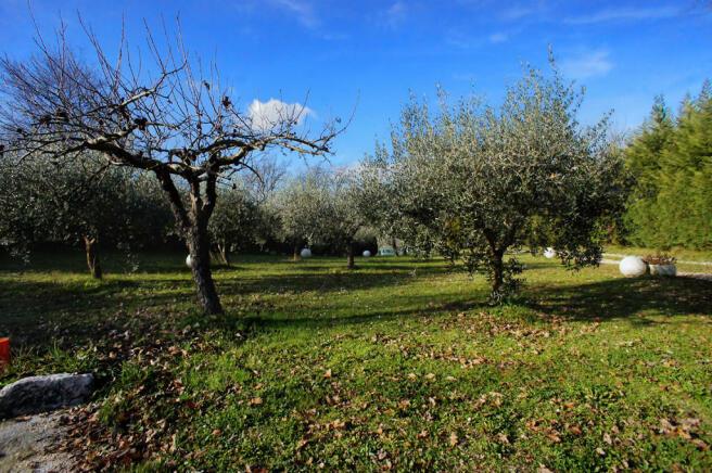Drive & olive trees