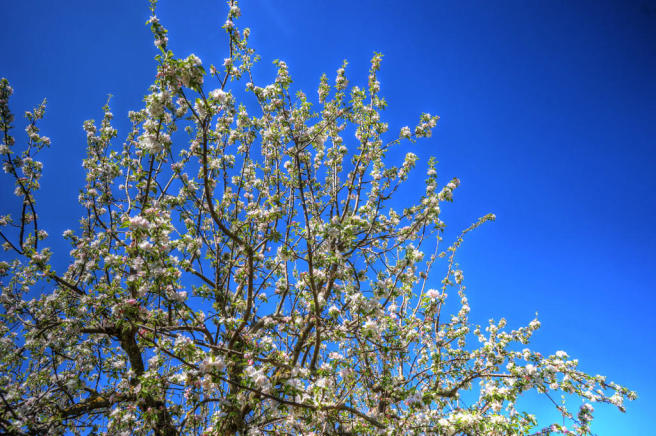 Flowering cherrytree