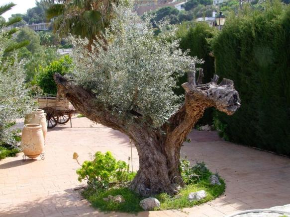 300 years olive tree