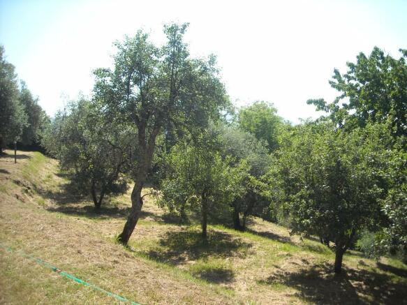 Olive/Fruit trees