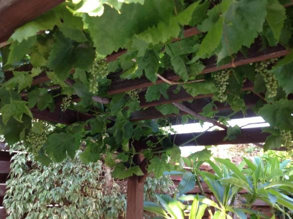 Your own Grape Vine
