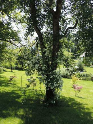 Rose on pear tree