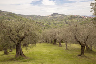 Olive trees view