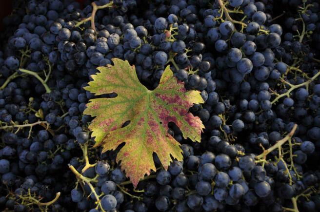 Grapes arty