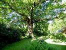 how green the 400yr old oak tree.JPG