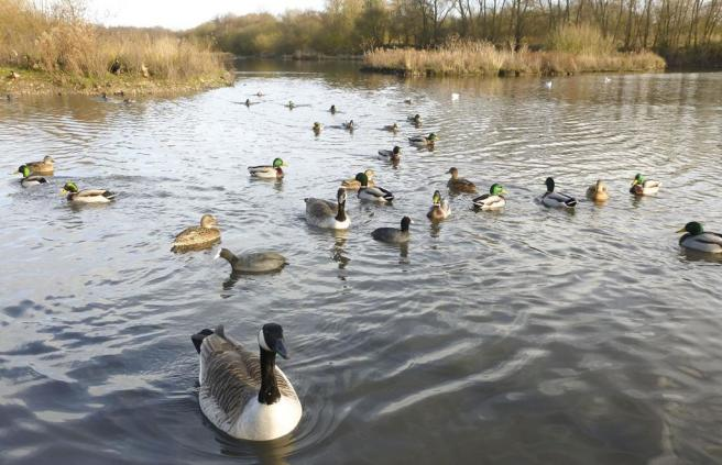 Ducks and Geese at Cannock Chase