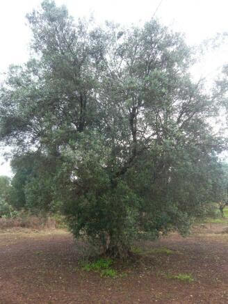 Olive tree on land